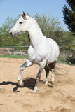 Amazign white andalusian stallion moving Royalty Free Stock Photography