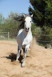 Amazign white andalusian stallion moving Stock Image