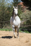 Amazign white andalusian stallion moving Royalty Free Stock Photo