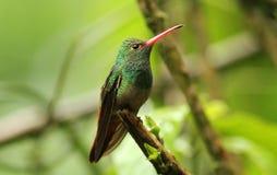amazilia蜂鸟红褐色被盯梢的tzcatl 库存照片