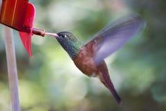 Amazilia Colibrì di amazilia del colibrì di volo Fotografia Stock Libera da Diritti