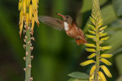 Amazilia Hummingbird 1. Hovering in front of flowers  of a bromeliad in Peru Royalty Free Stock Photos