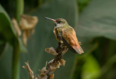 Amazilia Hummingbird, Peru. A lovely colouful hummingbird sitting on a dead flower stock,Peru Stock Image
