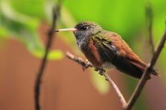 Amazilia hummingbird Royalty Free Stock Photo