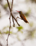 Amazilia Hummingbird on twig Royalty Free Stock Photo