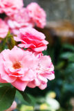 Amazin pink roses on natural background Royalty Free Stock Photo