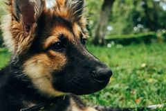 Amazing adorable puppy german shepherd sitting on green grass an Stock Image