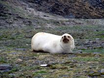 Amazing albino seal-calf of South Georgia amazing creature of Paradise land. Expedition 2017 Royalty Free Stock Images