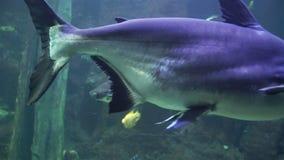Amazon fish in a large aquarium stock video footage