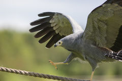 Amazing animal on display. African harrier hawk bird of prey cli Stock Image