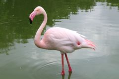 Pink flamingo standing up in a pond stock photo