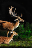 Fallow Deers Royalty Free Stock Image