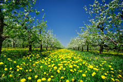 Amazing apple orchard in spring. Royalty Free Stock Images