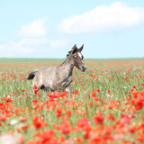 Amazing arabian foal running in red poppy field Royalty Free Stock Photo