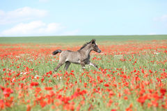 Amazing arabian foal running in red poppy field Royalty Free Stock Images