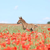 Amazing arabian foal running in red poppy field Stock Photos