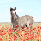 Amazing arabian foal running in red poppy field Stock Image