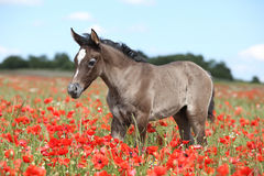 Amazing arabian foal running in red poppy field Royalty Free Stock Image