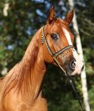 Amazing arabian horse with beautiful halter
