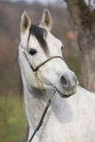 Amazing arabian horse with show halter. Portrait of amazing arabian horse with show halter in autumn stock photography