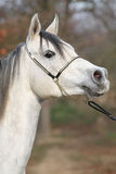 Amazing arabian horse with show halter Stock Photos
