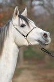 Amazing arabian horse with show halter. Portrait of amazing arabian horse with show halter in autumn stock photos