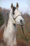 Amazing arabian horse with show halter. Portrait of amazing arabian horse with show halter in autumn stock photo
