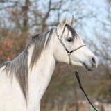 Amazing arabian horse with show halter. Portrait of amazing arabian horse with show halter in autumn stock image
