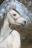 Amazing arabian horse with show halter Stock Images