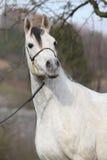 Amazing arabian horse with show halter
