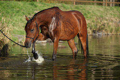 Amazing arabian horse in water Royalty Free Stock Photography