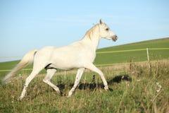 Amazing arabian stallion running Royalty Free Stock Photography