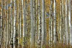 Amazing Aspen Glade Background Stock Photo