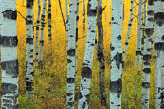 Amazing Aspen Glade Background Royalty Free Stock Images