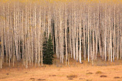 Amazing aspen in the Wasatch Mountains. Stock Image