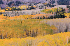 Amazing aspens in the Wasatch Mountains. Stock Photo