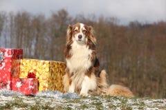 Amazing australian shepherd with christmas gifts Royalty Free Stock Image