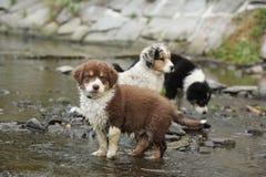 Amazing australian shepherd puppies sitting in water