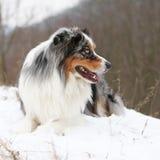 Amazing australian shepherd in winter Stock Images
