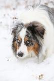 Amazing australian shepherd in winter Royalty Free Stock Images