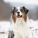 Amazing australian shepherd in winter Stock Image