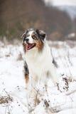 Amazing australian shepherd in winter Stock Photography