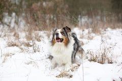 Amazing australian shepherd in winter Royalty Free Stock Photography