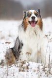 Amazing australian shepherd in winter Royalty Free Stock Image