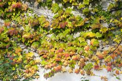 Amazing autumn background with Victoria creeper five-leaved ivy leaves creeping on white wall in sunlight Royalty Free Stock Photos