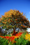 Amazing autumn maple tree Stock Photography