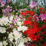 Amazing Azaleas. An array of colors burst from a cluster of azaleas located in the mountains of Asheville, North Carolina royalty free stock photo