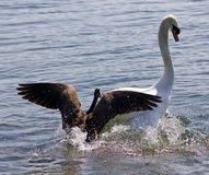 Amazing background with the Canada goose attacking the swan on the lake Stock Image