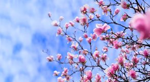 Amazing background with magnolia tree. Colorful purple flowers in the spring season. Beautiful pink magnolia petals on blue sky. Background. Branch of magnolias stock photo