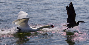 Free Amazing Background With The Angry Swan Attacking The Canada Goose Royalty Free Stock Images - 73227989
